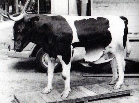 Trojan-Cow-454x690